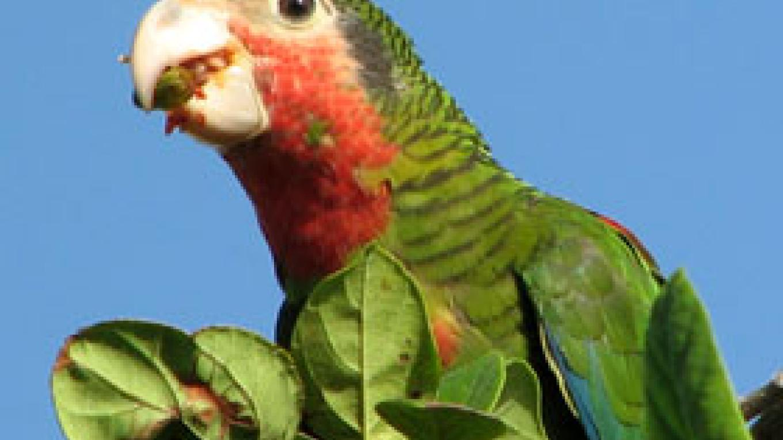 Bahama Parrot – Henry Nixon