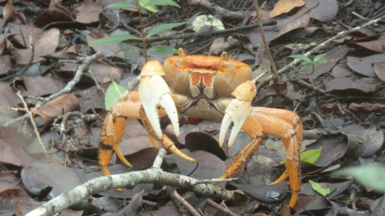 Land Crab – Small Hope Bay Lodge