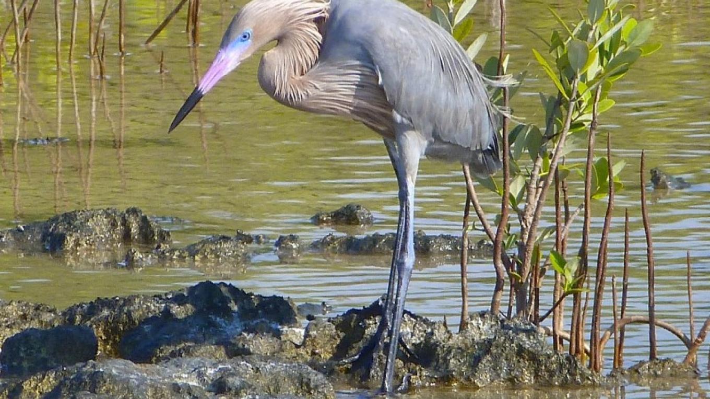 Reddish Egret – Keith Salvensen