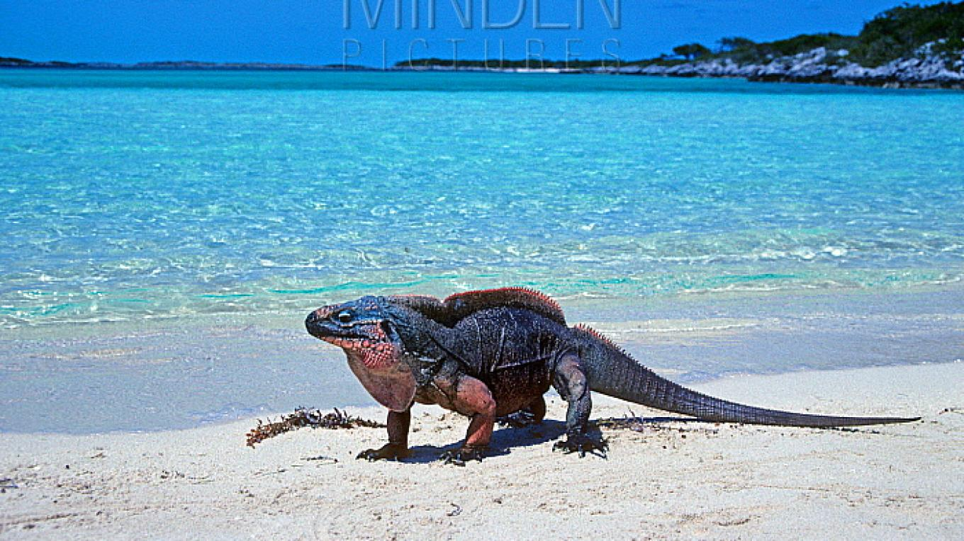 Iguana on the Beach – ssm
