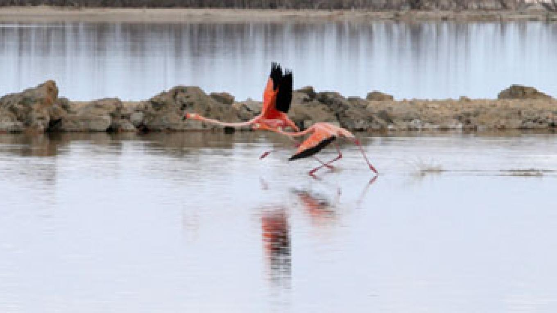 Flamingos in the Inagua National Park. – Henry & Olga Stokes