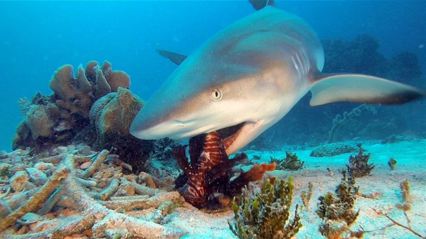 Reef Shark eating a Lion fish...Yummy! – Daryl Miller-Dive Master