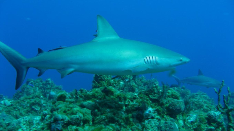 reef shark cruising over reef