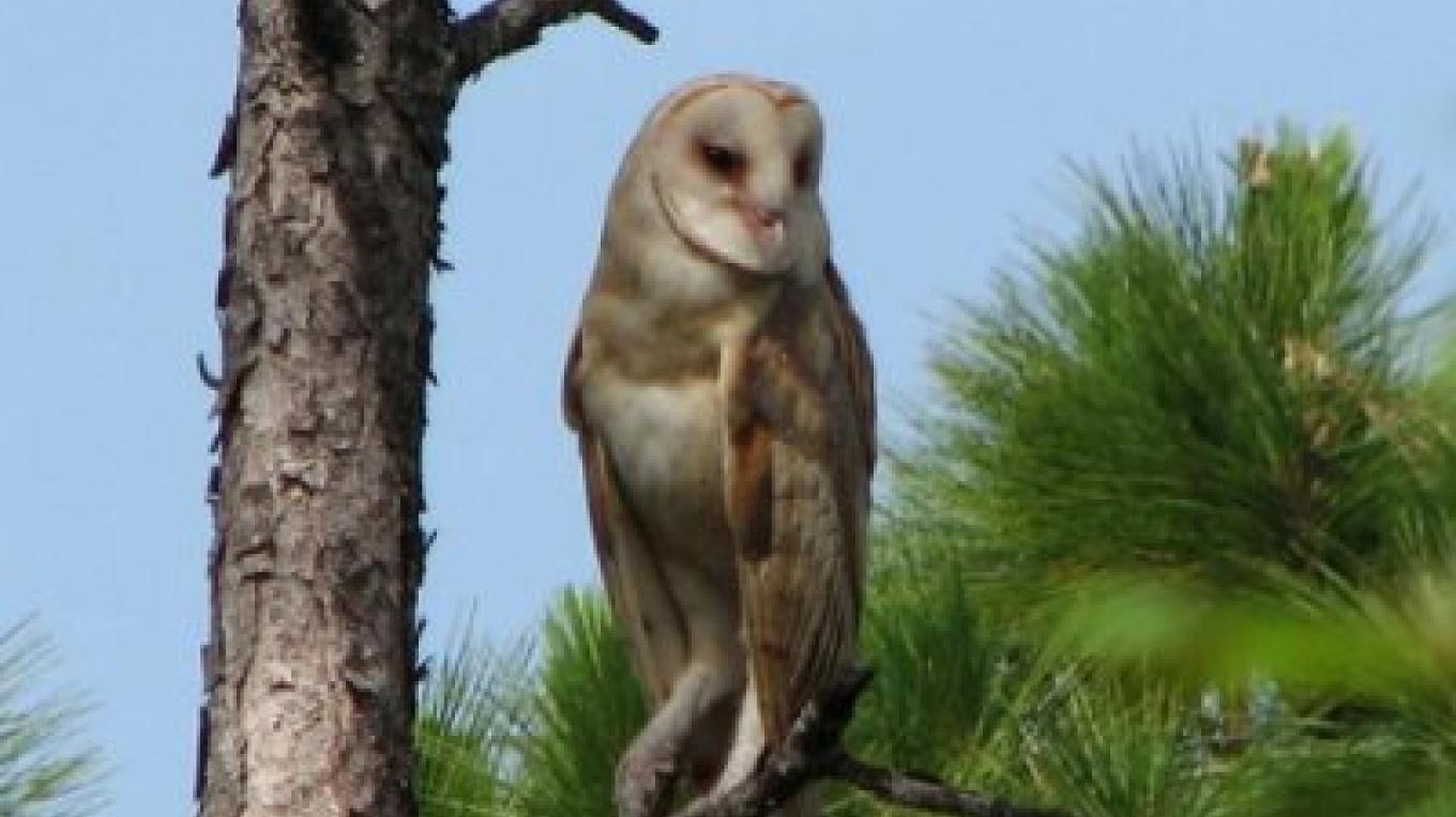 Photo of Andros Owl. – Andros Nature Consrvancy And Trust