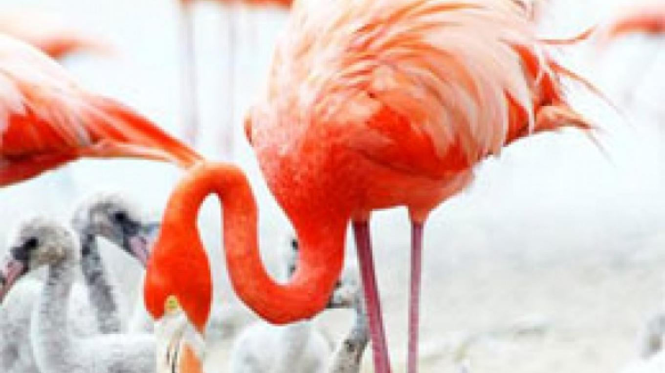 Flamingos – Bahamas Ministry of Tourism