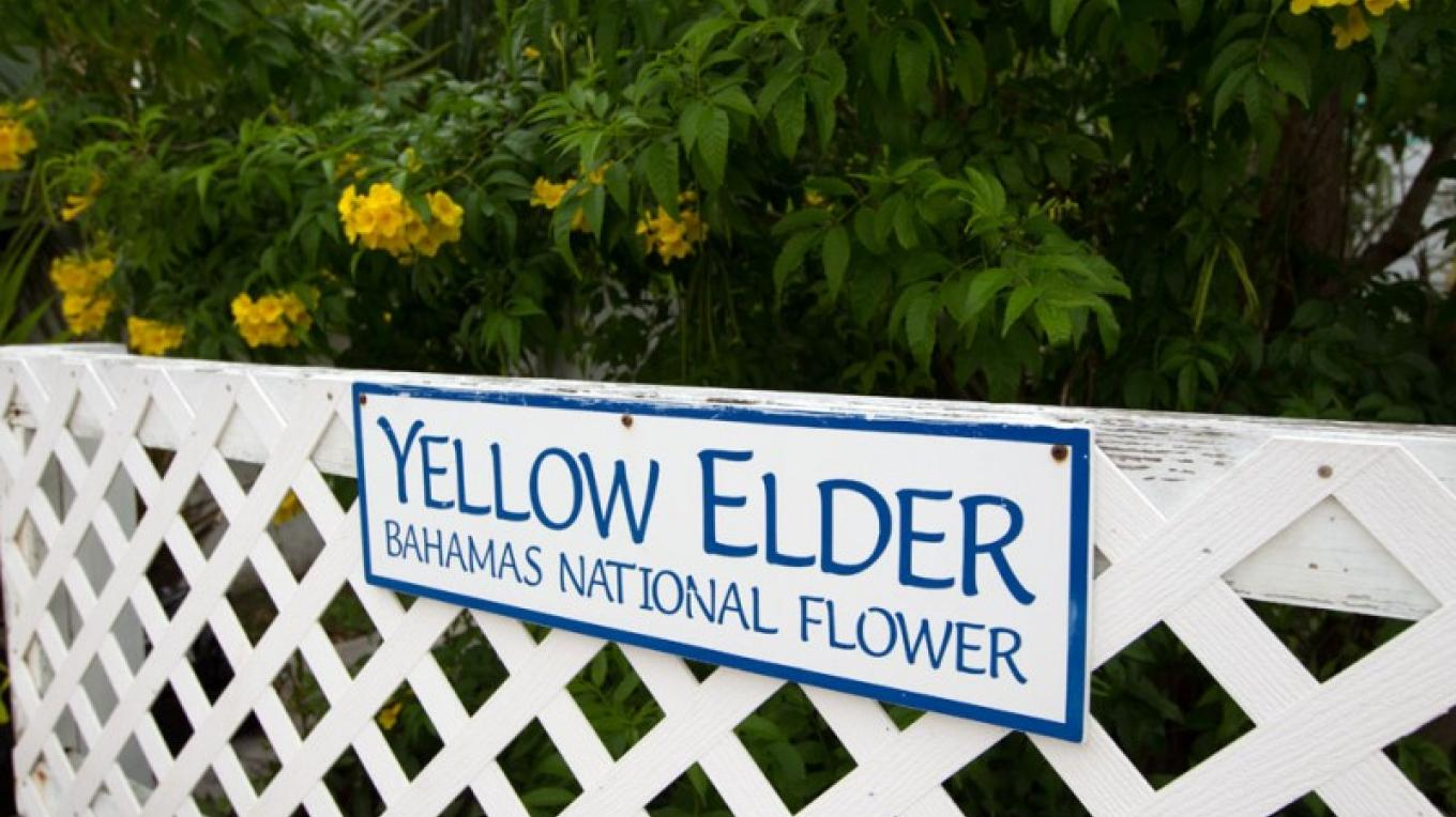 Fence with Yellow Elder Trees – Bahamas Ministry of Tourism