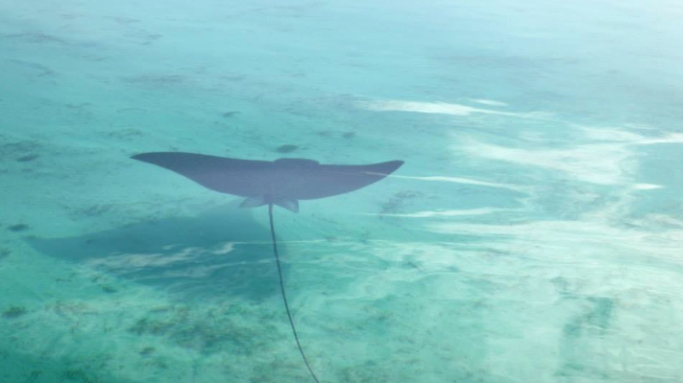Look how gracefully this stingray glides through the waters.