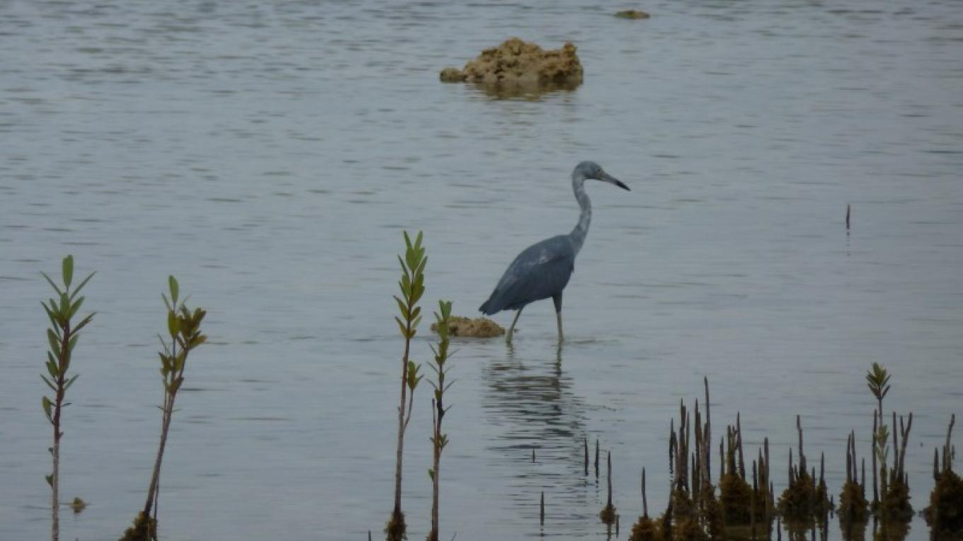 Blue Heron in Conch Sound – Small Hope Bay Lodge