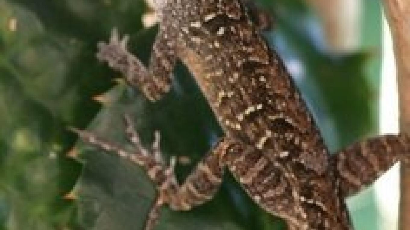 Photo of Bahamian Anole. – Andros Nature Consrvancy And Trust