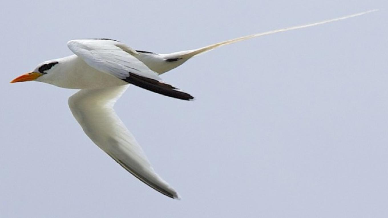White Tailed Tropic Bird – Alex Hughes