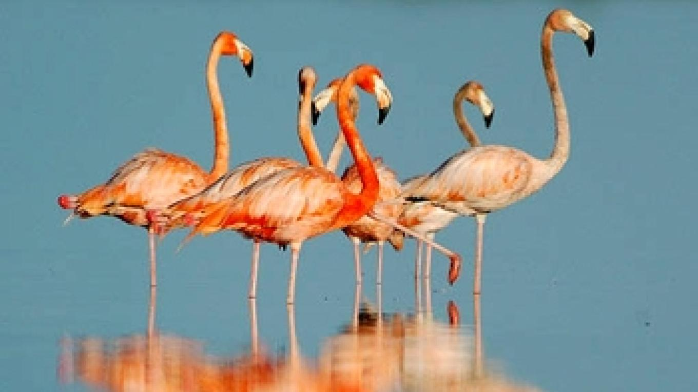 Picture of Flamingos on Westside. – Andros Nature Conservancy and Trust