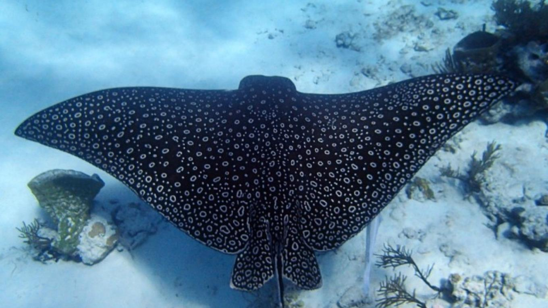 Stingray – Miller's Dive Shop