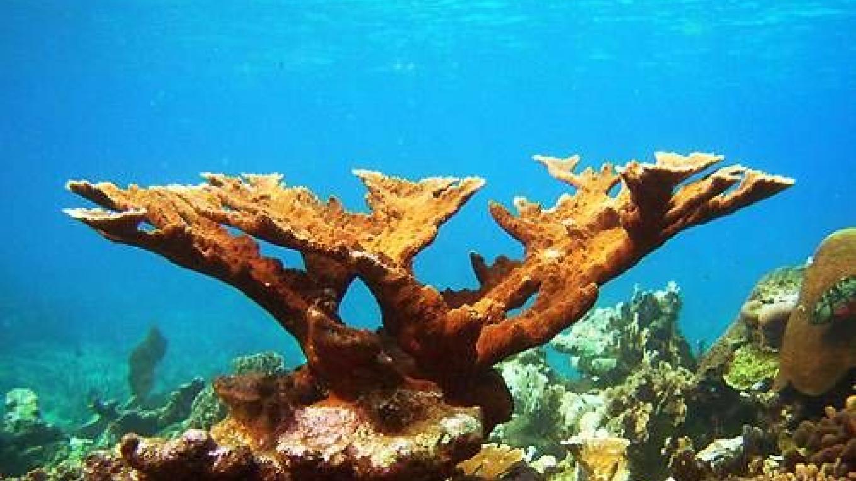 Elkhorn coral – ssm