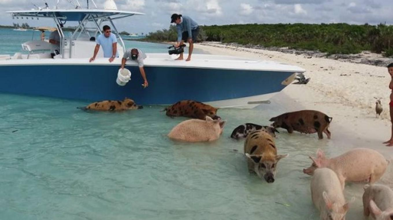 Now the pigs want to swim in the ocean! – Captain Marvin Cartwright