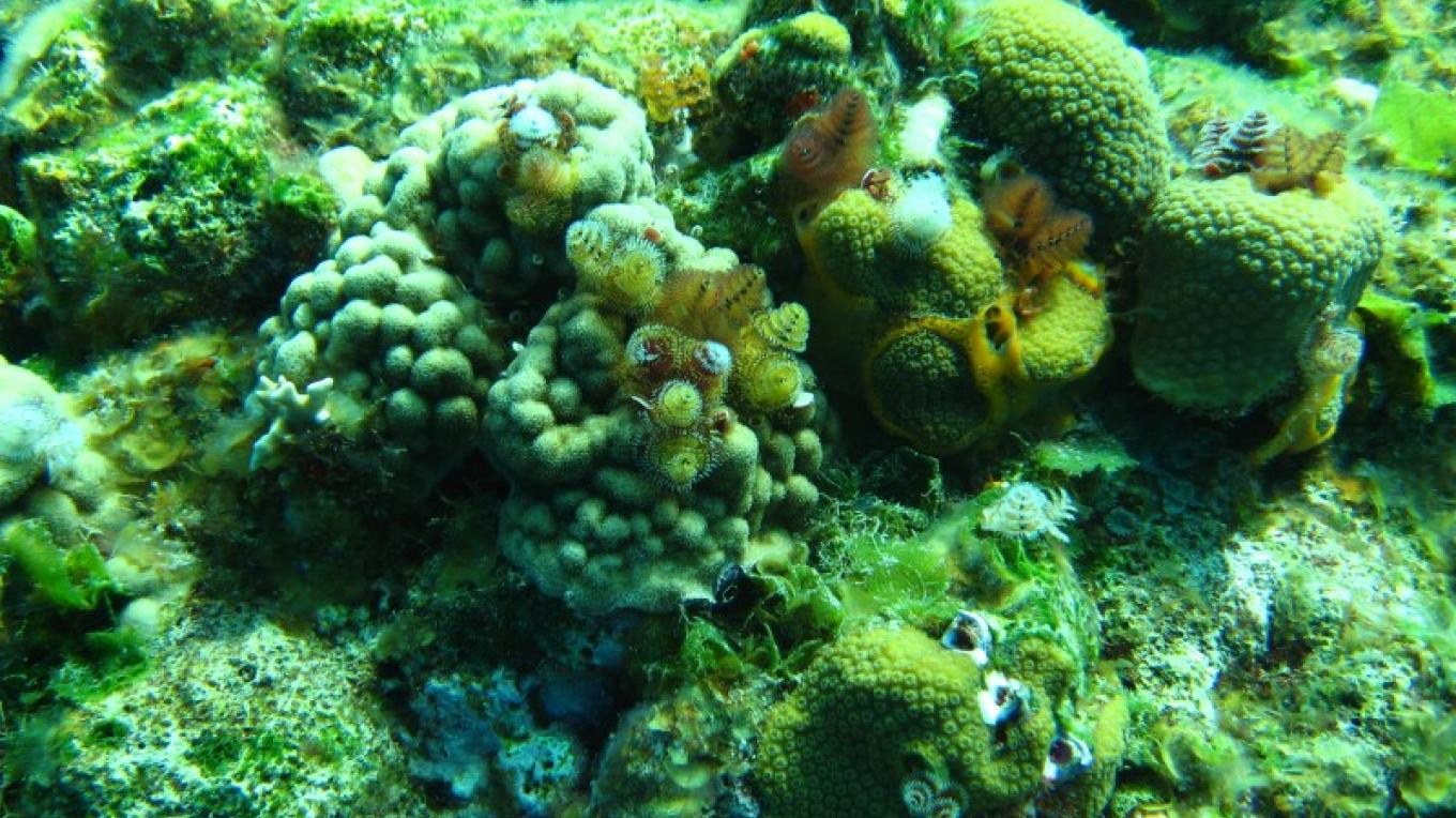 Christmas Tree Worms encrusted on coral – Capt Daryl Miller, Dive Master