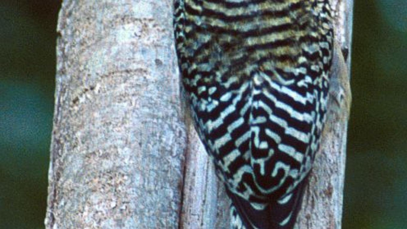 West Indian Woodpecker in the Abaco National Park – Bahamas National Trust