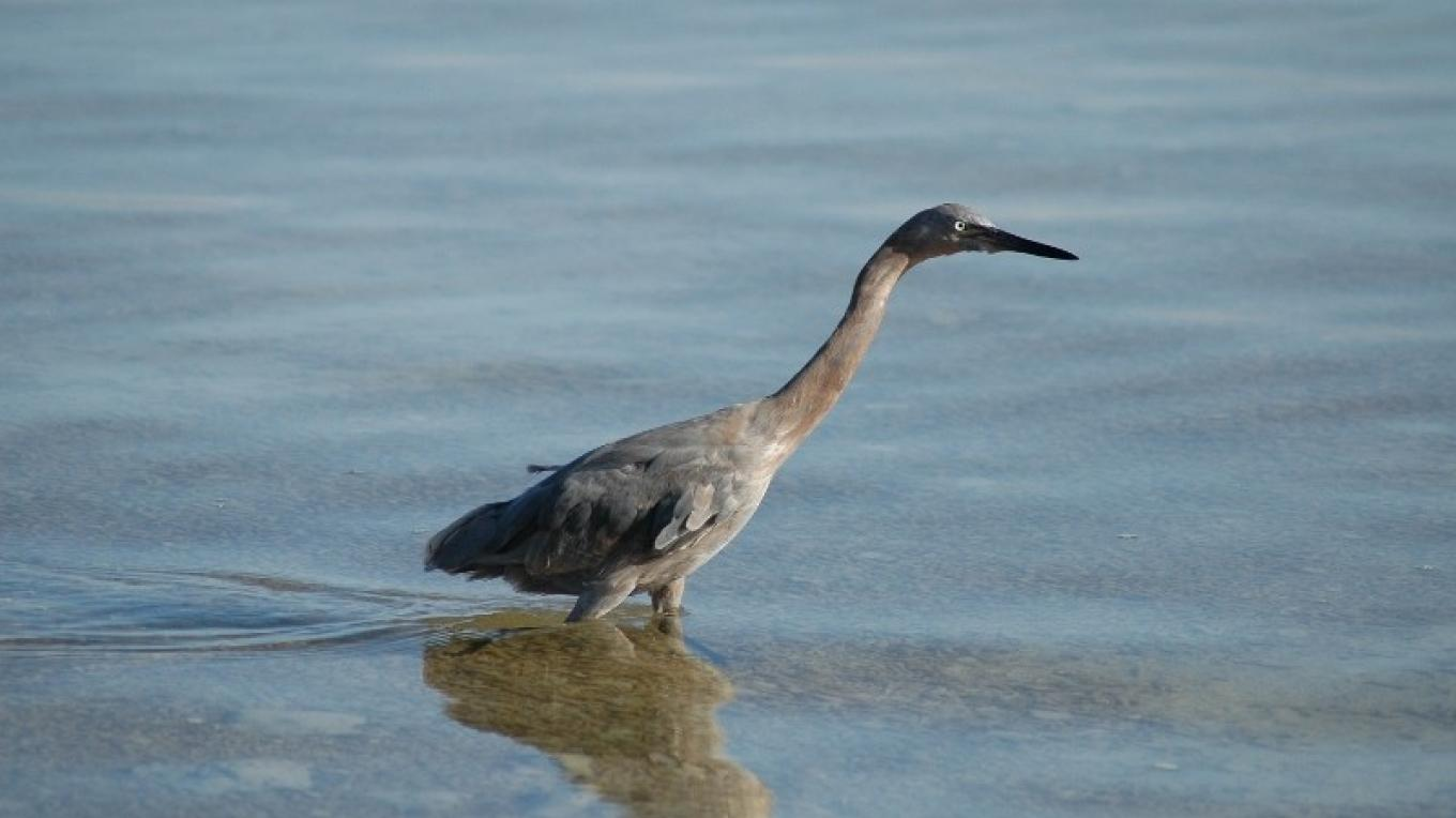 Bird wading in a pond at the Inagua National Park. – O. Stokes, Bahamas National Trust