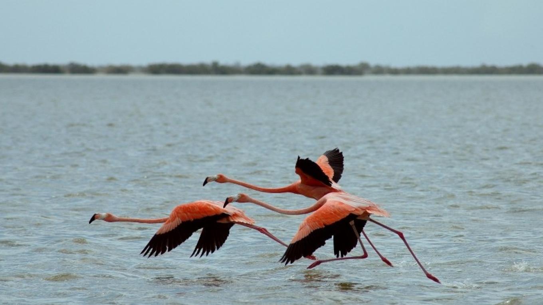 Flamingos take flight in the Inagua National Park. – O. Stokes, Bahamas National Trust
