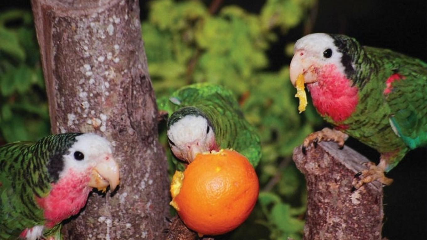 Parrots sharing an orange in the Abaco National Park – Bahamas National Trust