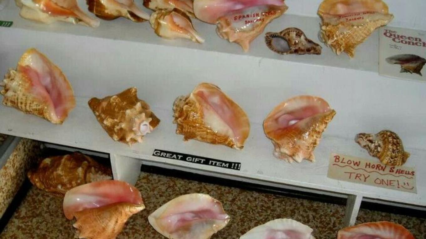 Conch shells – pinterest