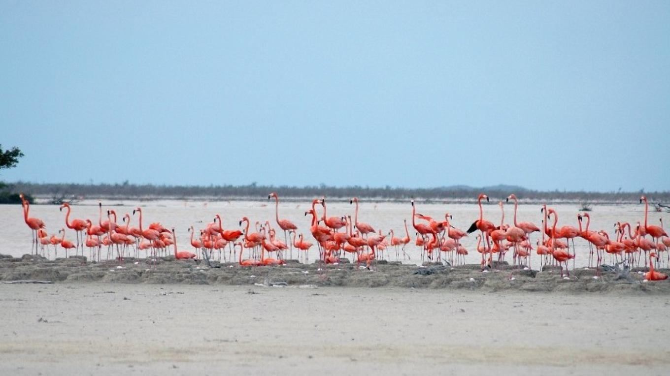 Flock of Flamingos in the salt pond at the Inagua National Park. – O. Stokes, Bahamas National Trust