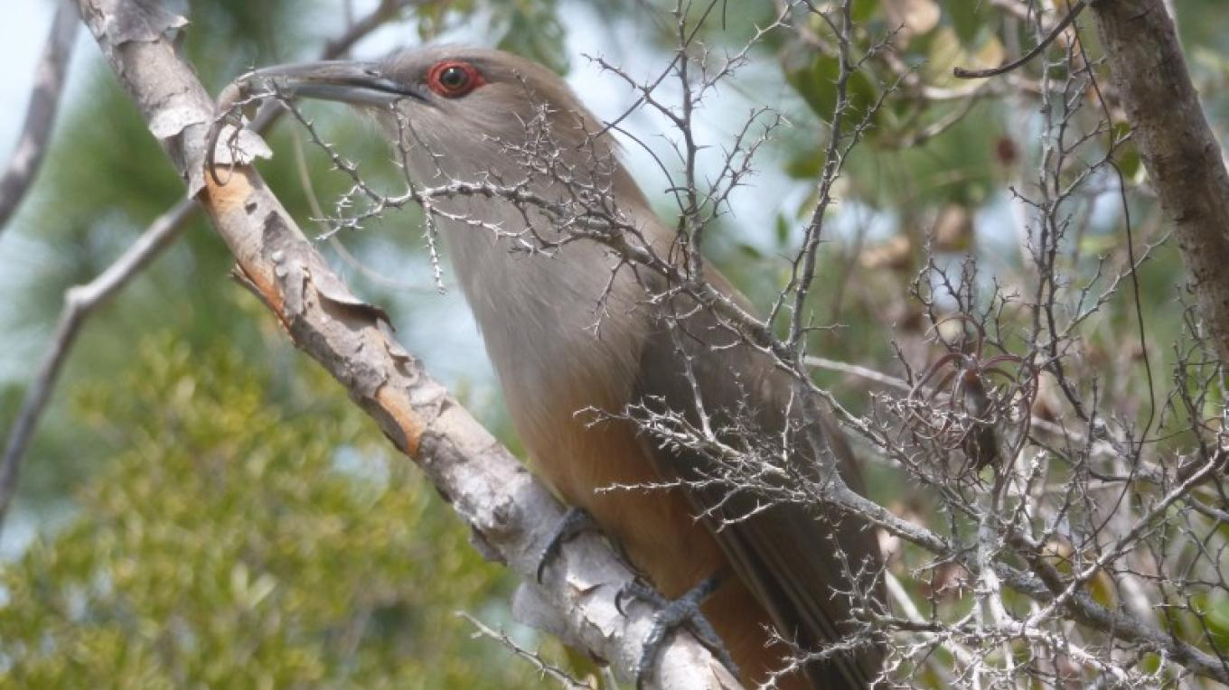 Great Lizard Cuckoo – Claudius Hassold
