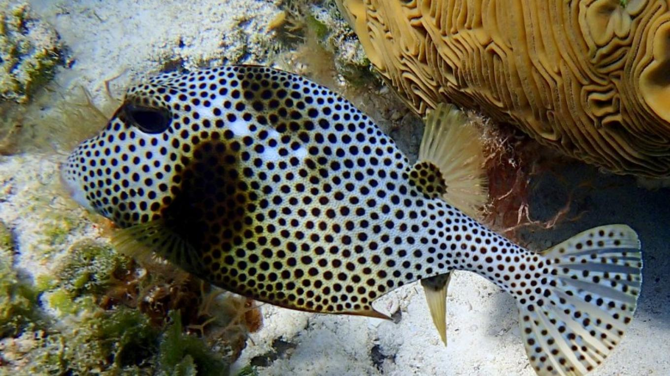 trunk fish poses over coral – Capt Daryl Millers, Dive Master