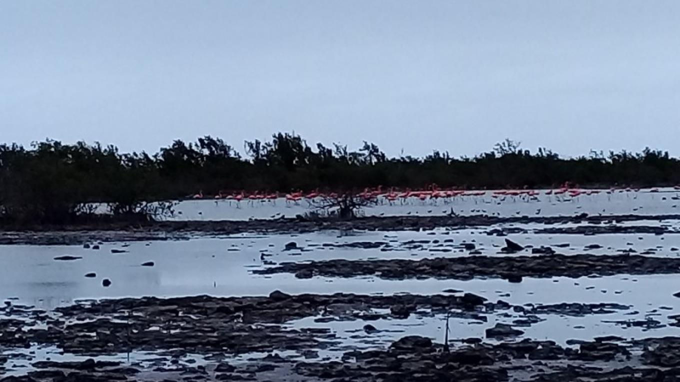 Flamingos in the Salina/Mangroves – Ms. Patricka Ferguson, Yahaka Iland Tours