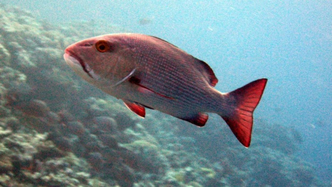 Red snappers – ssm