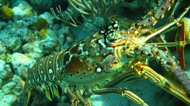 Underwater sea lobster – Miller's Dive Shop