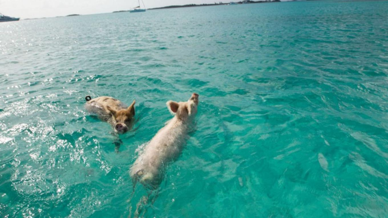 The Swimming Pigs near Staniel Cay, The Exumas – Bahamas Ministry of Tourism