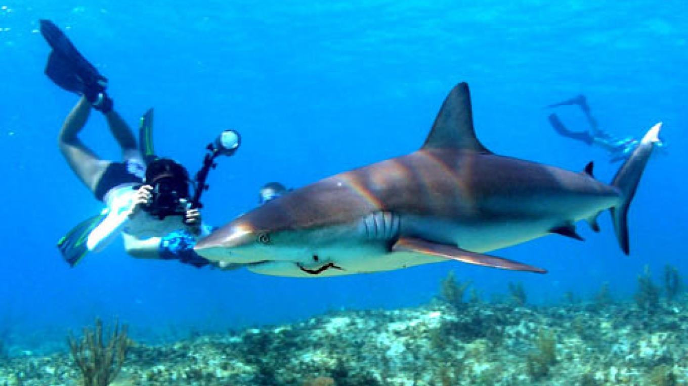Shark encounter Bimini Sands – Bimini Sands Resort and Marina
