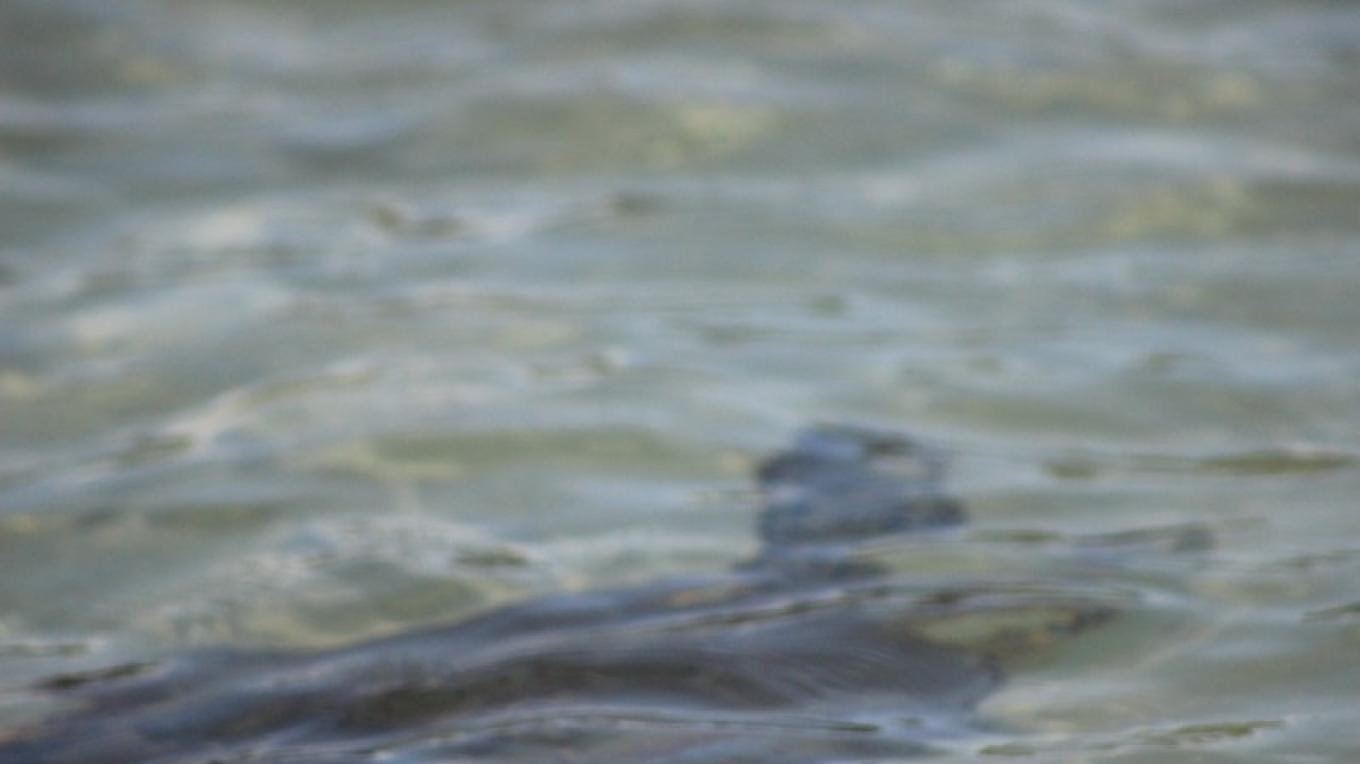 Turtle in the Water – Patricia Ferguson, Yahaka Island Tours