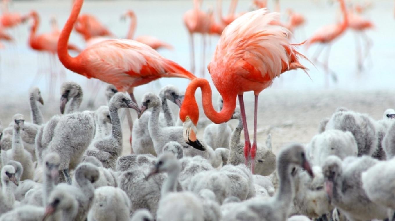A flock of Flamingos in the Inagua National Park. – O. Stokes, Bahamas National Trust