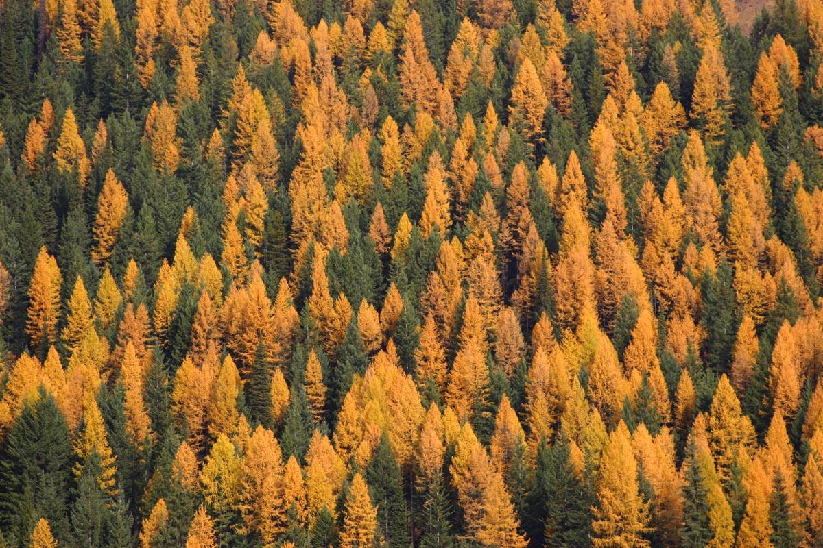 Larch Trees in Autumn. Photo: Brian Schott