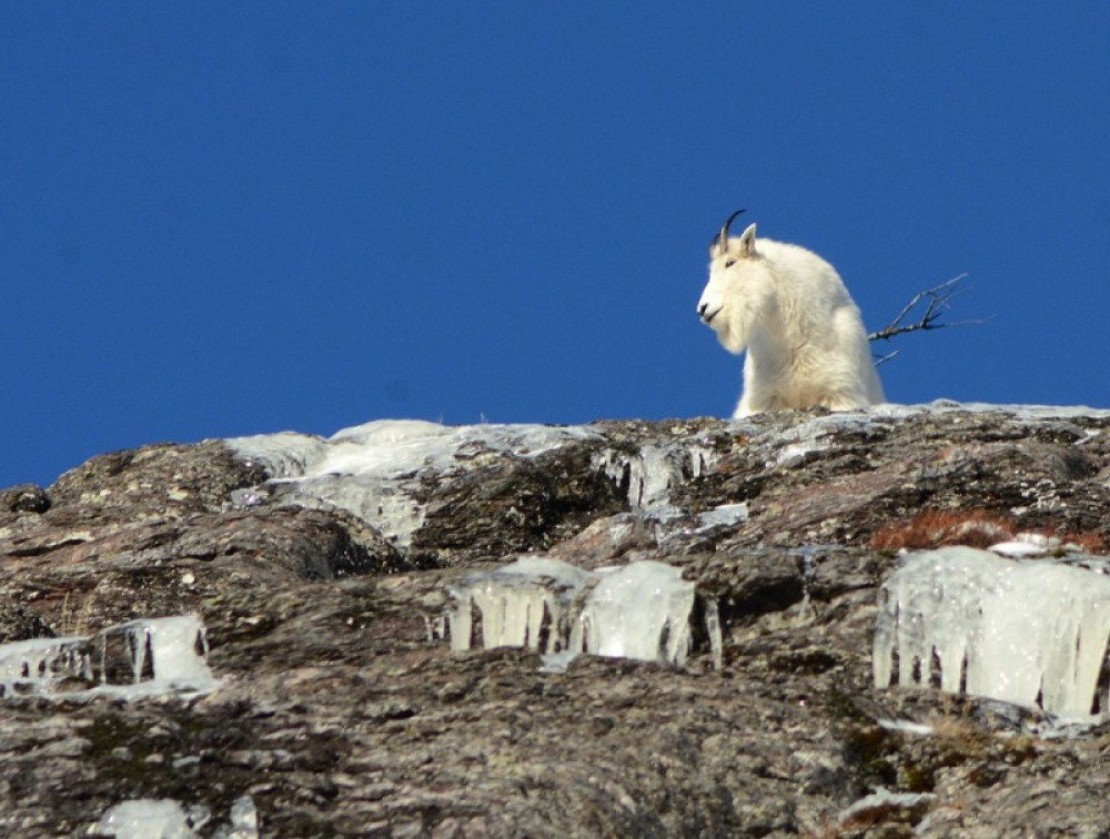 A big goat looks on from his perch high on Mt. Cannon. – Devin Schmit