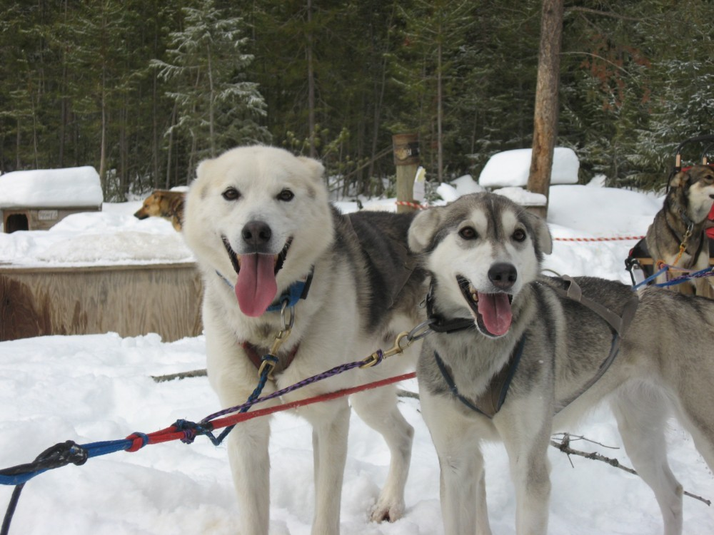 Nanook and Glacier. Happy dogs who have just returned from taking two clients out for a ride.