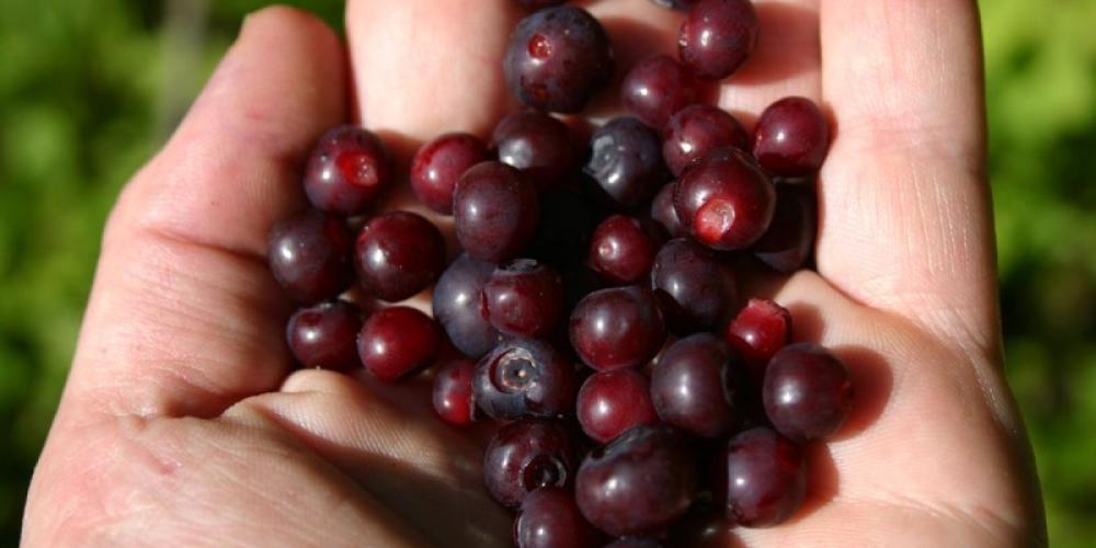 Huckleberries! – Brian Schott