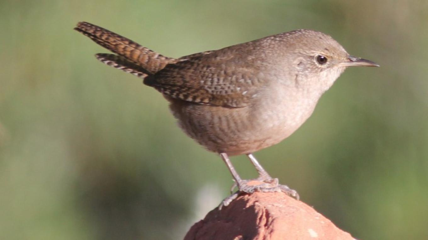 A House Wren pauses in the sunlight by the creek. – Timothy T Weber