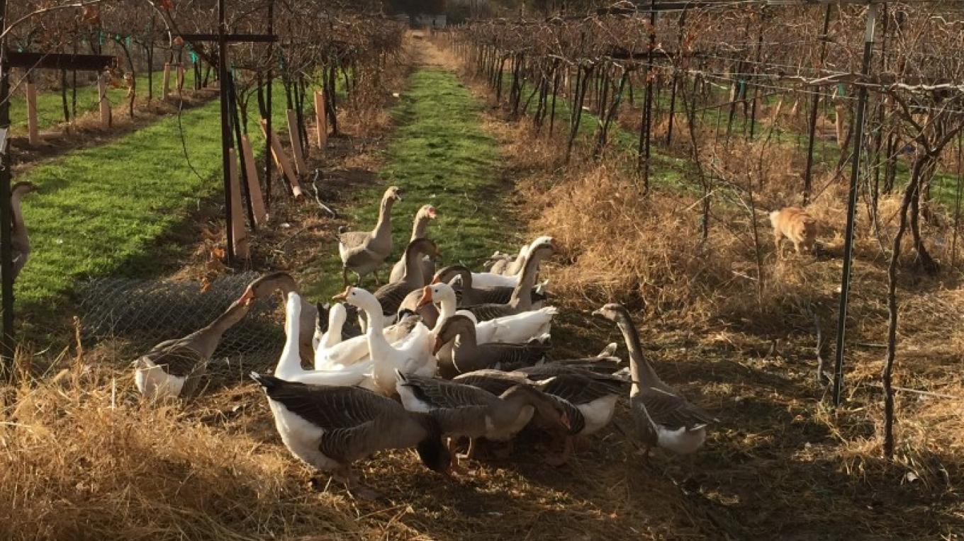 The geese mulling over the new cover crop – SL MESA