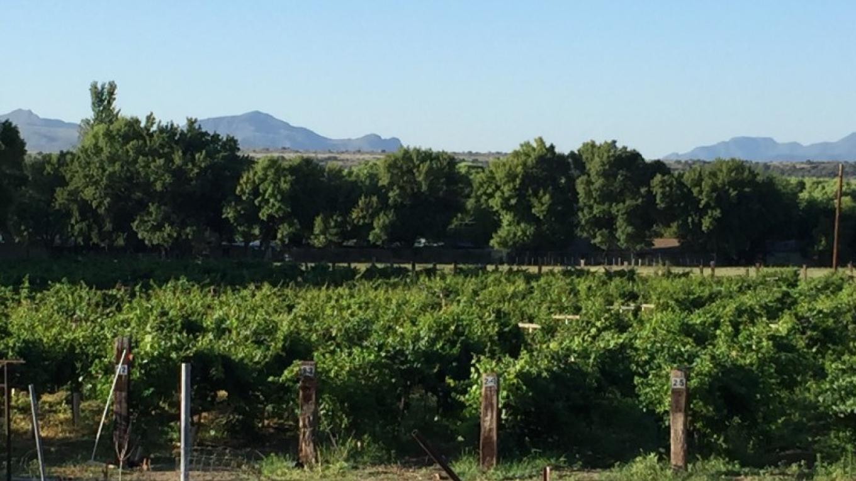 Summer peek at the vineyard – SL MESA