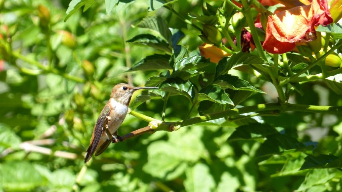 A visit from the rufous hummingbird. – Milena Pfeifer