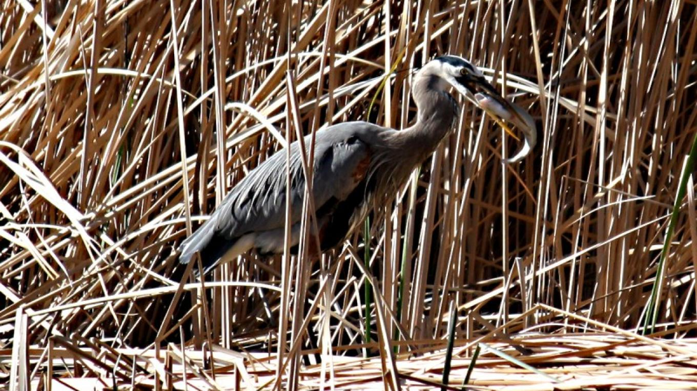Great Blue Heron at Dead Horse Ranch State Park – Dennis Tomko