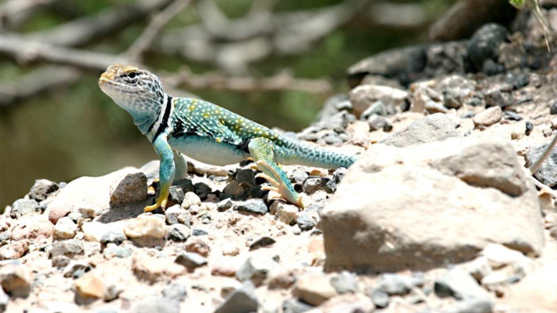 Collared Lizard - bird with no feathers? – Doug Von Gausig