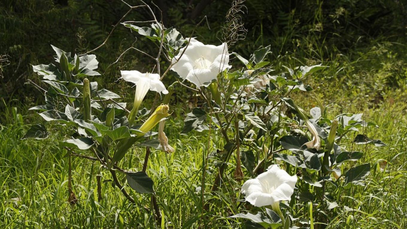 Datura along the trail. – Dennis Tomko
