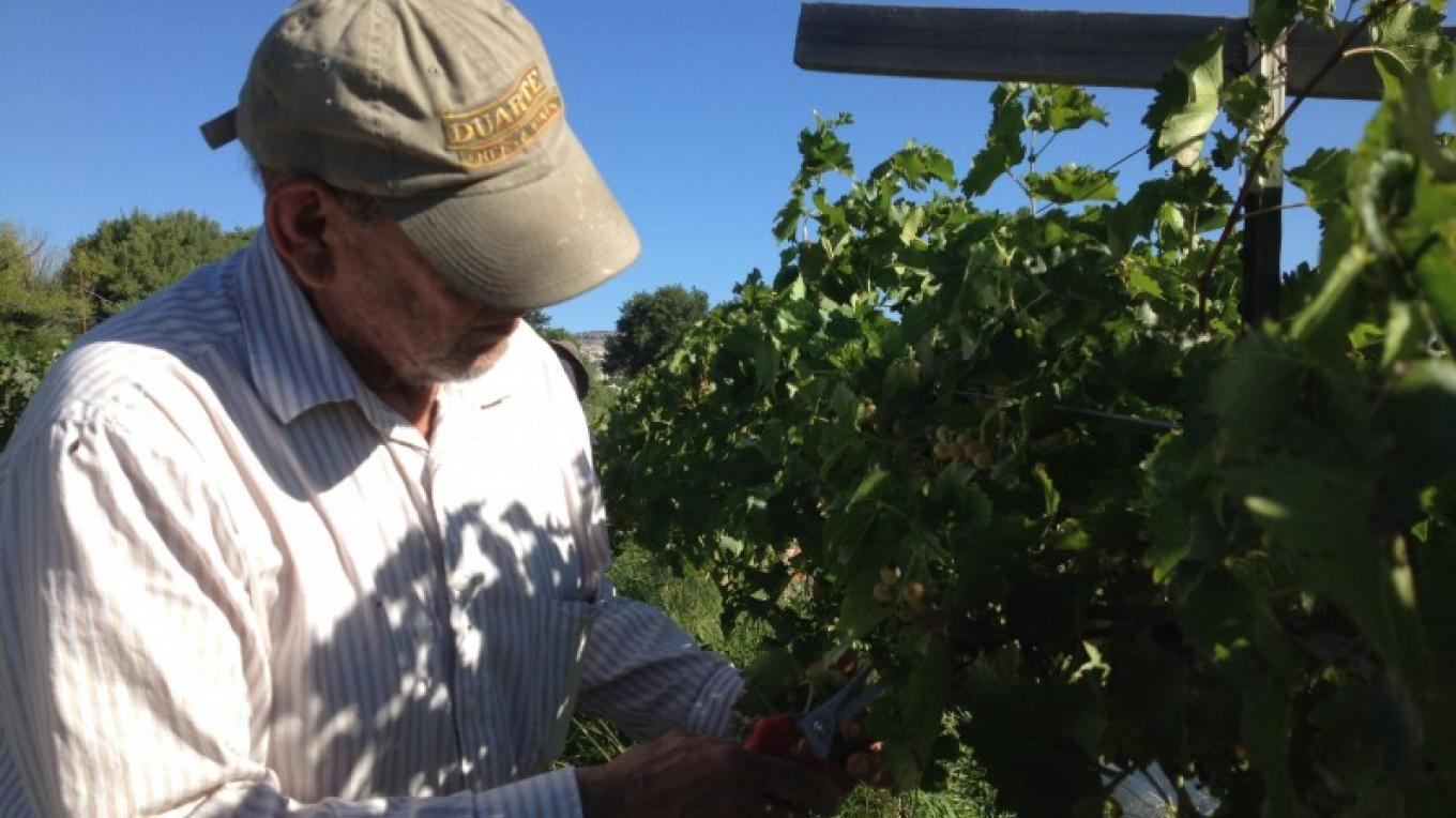 Picking the grapes by hand at harvest – SL MESA