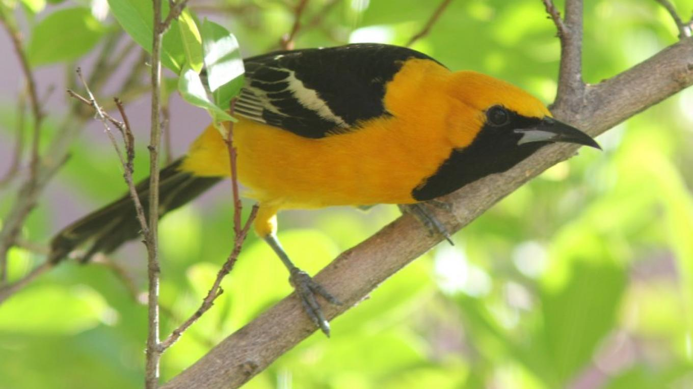 A Hooded Oriole strains to see us on the Allen's Bend Trail in Oak Creek Canyon. – Timothy T Weber