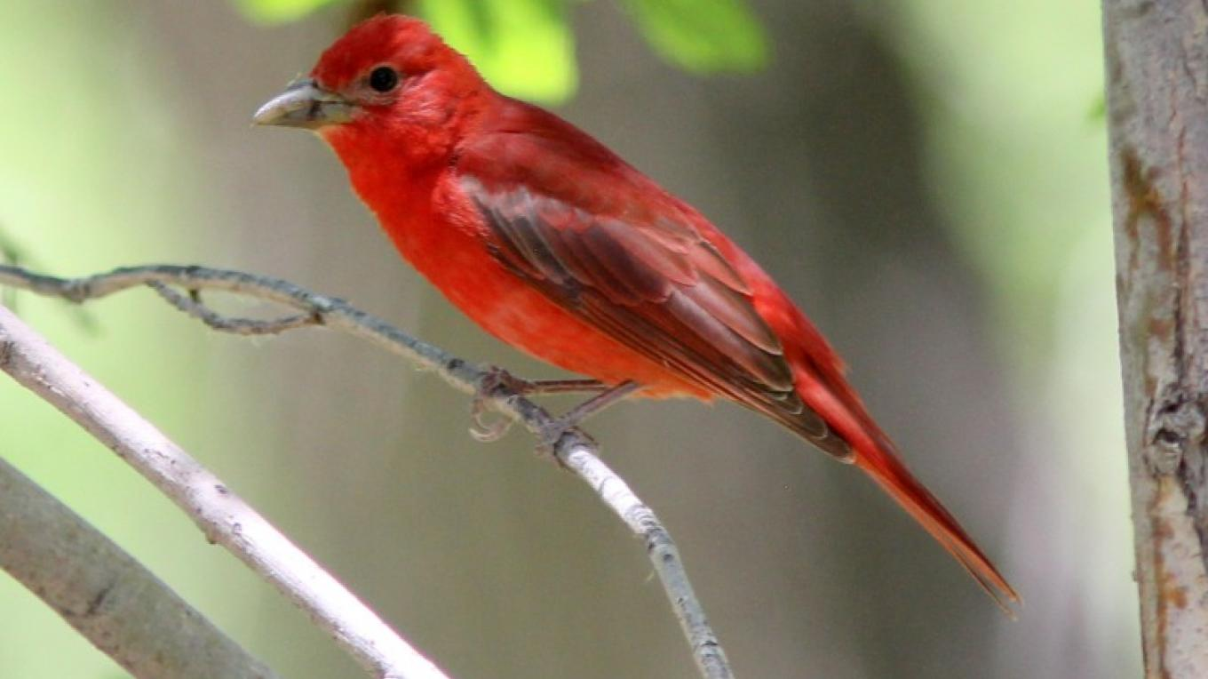 A male Summer Tanager roosts in the middle of the day along many of the spring fed creeks in the region. – Timothy T Weber