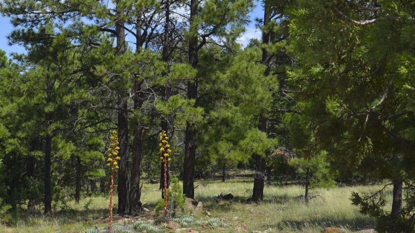 Agave spears reach for the sky in the ponderosa pine forest at the Woodchute Trailhead. – USDA Forest Service