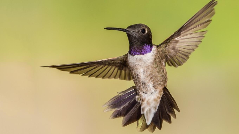 Black-chinned Hummingbird – Eric Gofreed